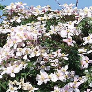 clematis montana rubens seasonal gardening. Black Bedroom Furniture Sets. Home Design Ideas