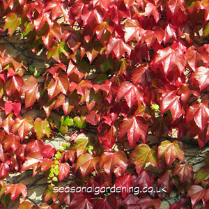 Bright Red Autumn Leaves of Virginia creeper