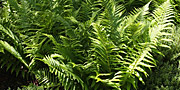 Dryopteris-th