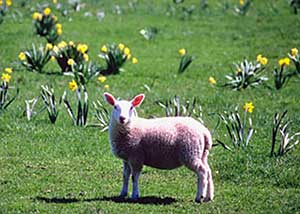 lamb standing in field of daffodils