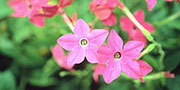 nicotiana flower pink