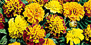 tagetes flowers mixed