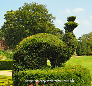 yew topiary peacock