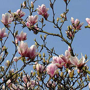 Magnolia soulangeana large saucer shaped white pink flowers