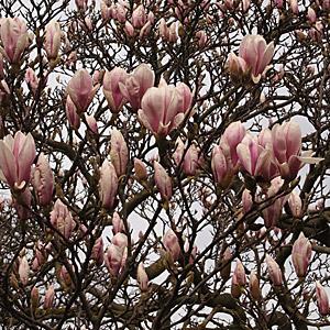 Magnolias For Uk Gardens Seasonal Gardening