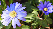 Anemone blanda wood anemone plant information by seasonal gardening a herbaceous low spreading perennial originating from the rocky slops of the eastern mediterranean its dainty daisy type flowers appear in early spring mightylinksfo