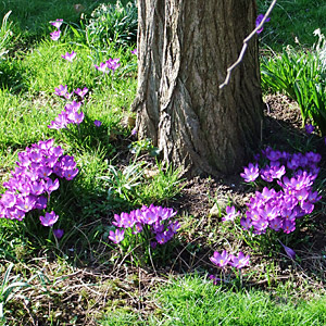 bcfcfaac8 Crocus Planting and Growing Guide