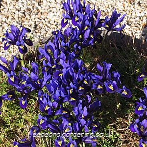 Iris Reticulata Planting And Growing Guide