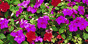 impatiens flowers mixed