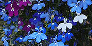 lobelia fountain mixed colours