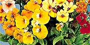 nemesia flowers yellow