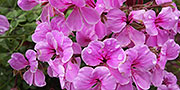 pelargonium flowers pink