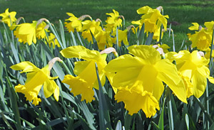 Daffodils at Threave