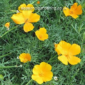 Eschscholzia californica california poppy planting and growing guide eschscholzia californica california poppy mightylinksfo