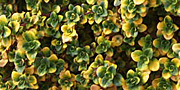 Variegated Thyme