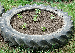 tractor tyre used as a raised vegetable bed