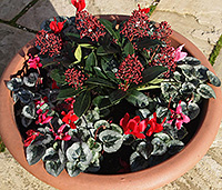 Skimmia japonica and cyclamen