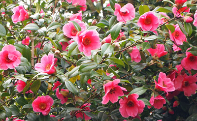 Seasonal Gardening March Trees Bushes And Shrubs