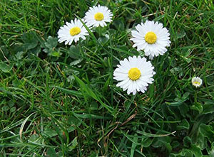 daisy weeds in lawn