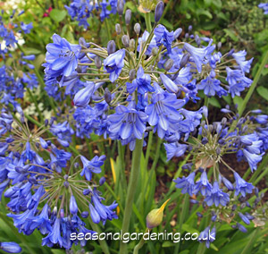 Agapanthus African Lily How To Plant Grow And Care For Agapanthus
