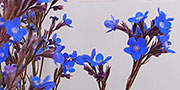 blue anchusa   flowers