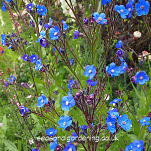 Anchusa bugloss how to plant grow and care for anchusa anchusa blue flowers mightylinksfo