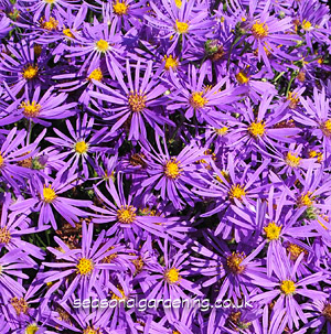 Autumn Aster Michaelmas Daisy Planting And Growing Guide