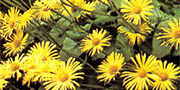 doronicum   yellow flowers
