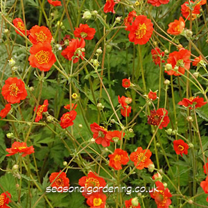Geum avens planting and growing guide geum mightylinksfo