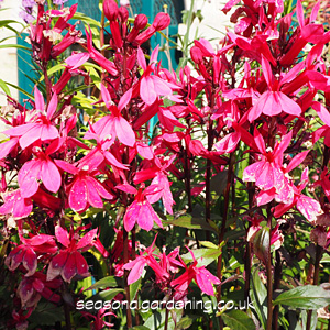 Lobelia perennial planting and growing guide stately upright plants with tall flower spikes that rise above clusters of long narrow leaves mightylinksfo