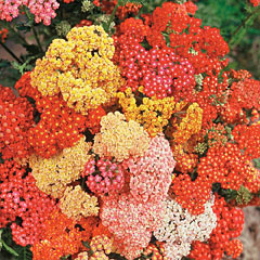 Achillea Yarrow How To Plant Grow And Care For Achillea