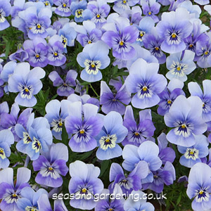 Violas And Pansies Planting And Growing Guide