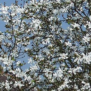 Magnolia Stellata Star Magnolia Size Planting And Care Seasonal
