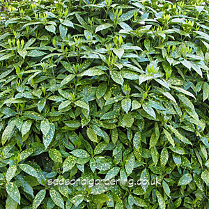 Aucuba Japonica Plant Information by Seasonal Gardening