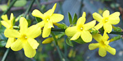 jasmine yellow flower