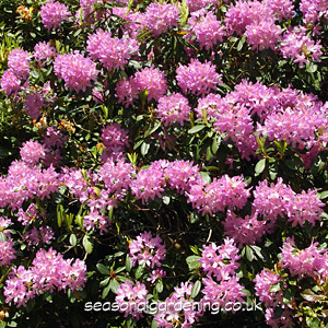 Growing Rhododendron Shrubs For Uk Gardens