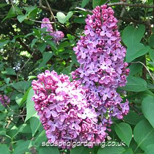 Syringa Lilac Planting And Growing Shrubs