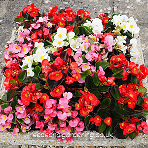 Begonia Planting And Growing Guide