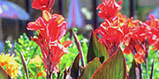 canna red flowers