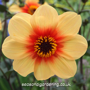Dahlia Planting And Growing Guide