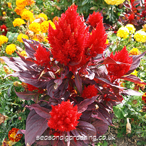 Celosia Cockscomb Planting And Growing Guide