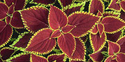 coleus red flame