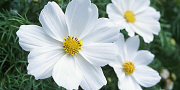 cosmos flower white
