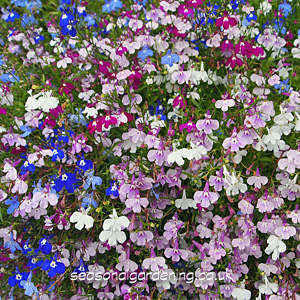 Lobelia Half Hardy Planting And Growing Guide