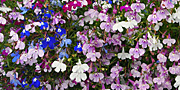 Lobelia Cascade Mixed
