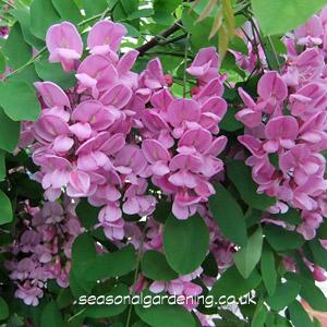 Robinia false acacia how to plant grow and care for robinia robinia pinkrose flowers mightylinksfo