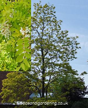 Robinia False Acacia How To Plant Grow And Care For Trees